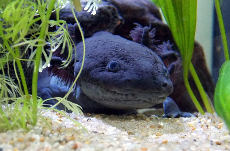 axolotl pet the urban list