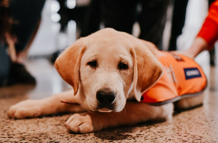 guide-dogs-australia-pawgust