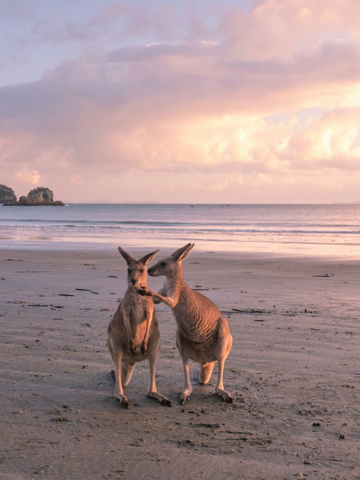 Two wallabies stand on a beach at sunrise.