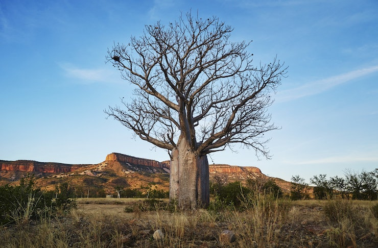 An ancient tree stands tall in the Australian outback with vast red dirt mountains looming in the distance.