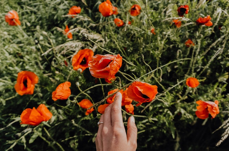 A close up of a woman's hand touching a single red poppy, in a field of poppies.