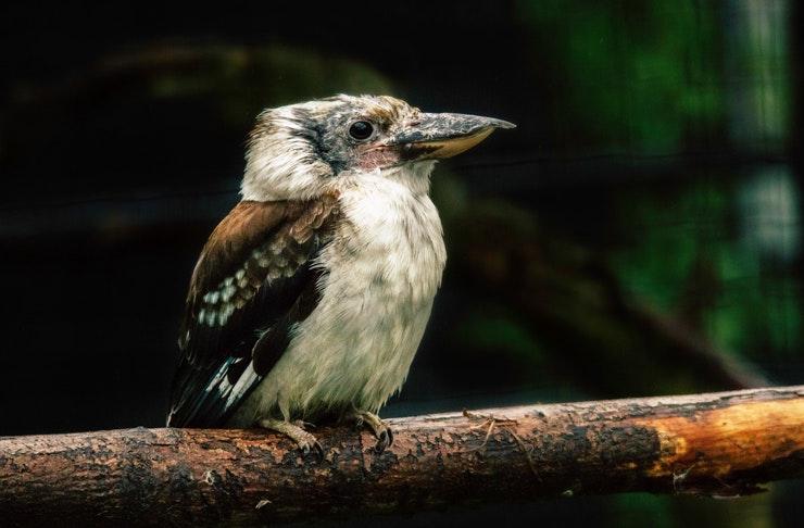 australian-bird-of-the-year