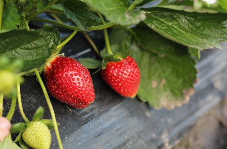 strawberry fields sunshine coast