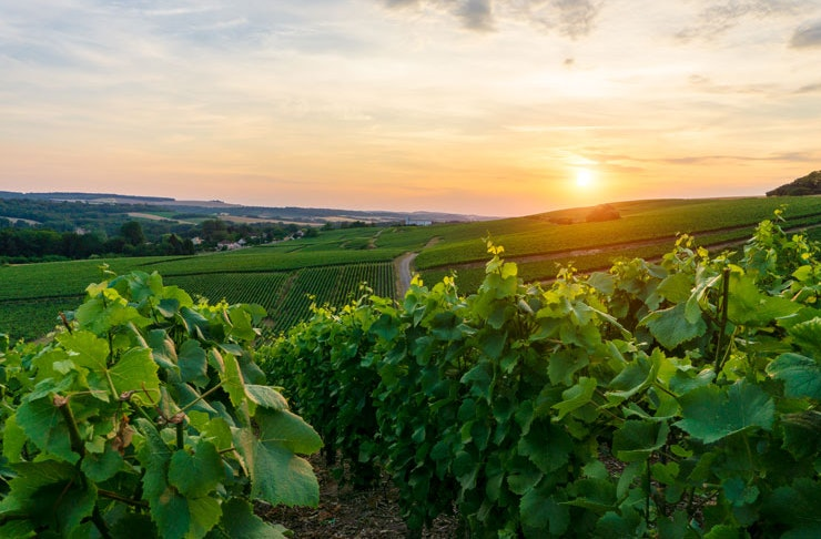 Lush green vineyards in the Hunter Valley in NSW at sunset.
