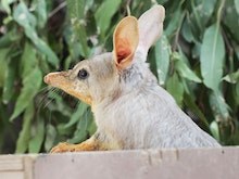 Adopt A Cute Little Bilby And Help This Local Wildlife Sanctuary