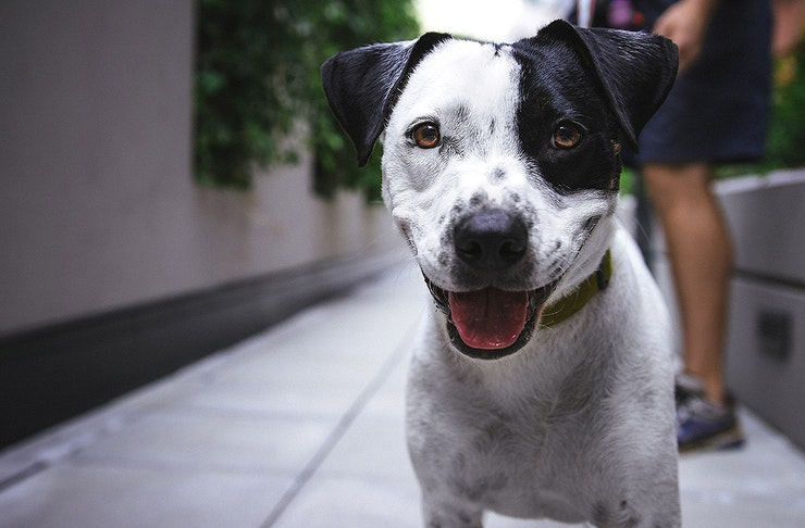 A gorgeous black and white dog looks at the camera with its owner standing behind.