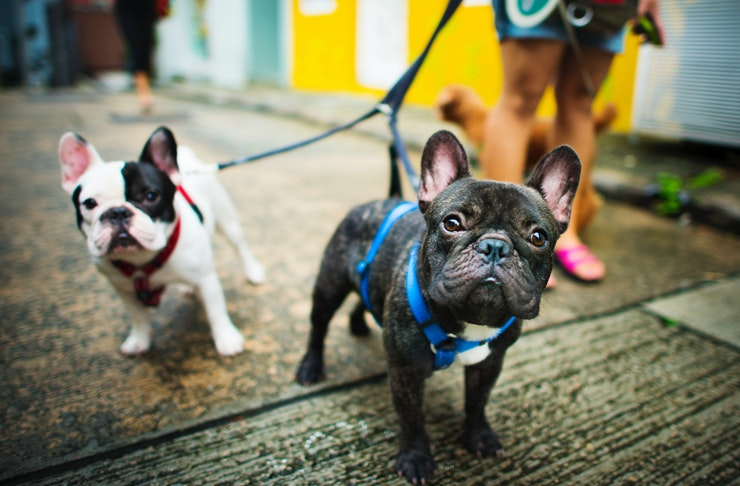 French bulldogs out on the town