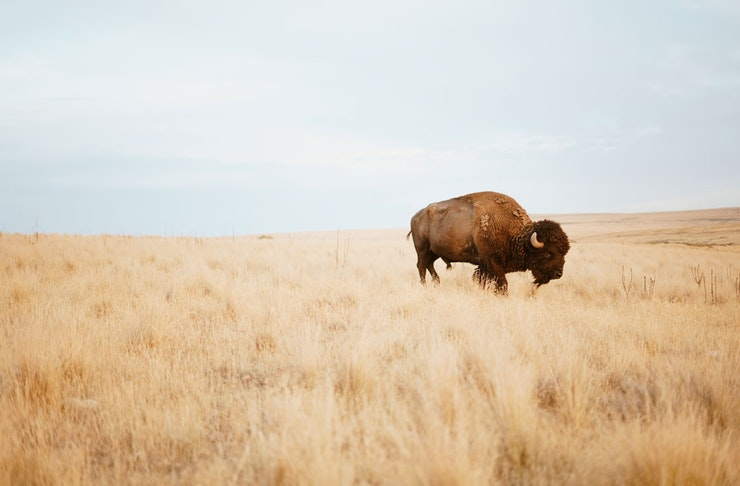 An American Bison stands in a grassy field.