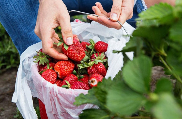A bucket of fresh strawberries from Sydney's Northside Produce Market.