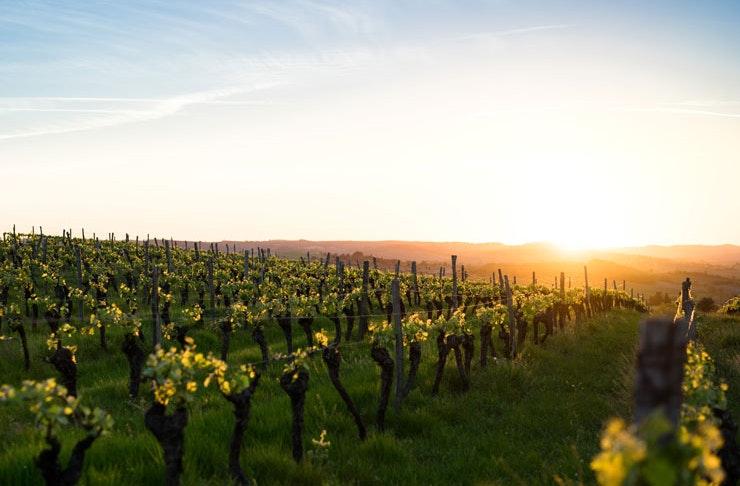 A vineyard at sunrise.