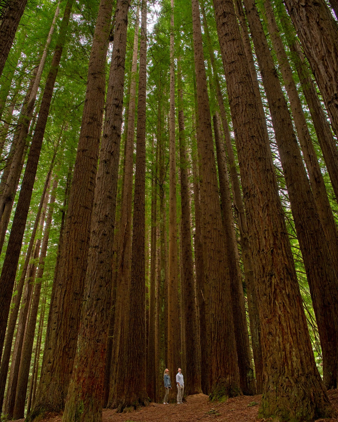 Two people staring up in amazement at the height of the Californian Redwoods outside of Warburton, Victoria.