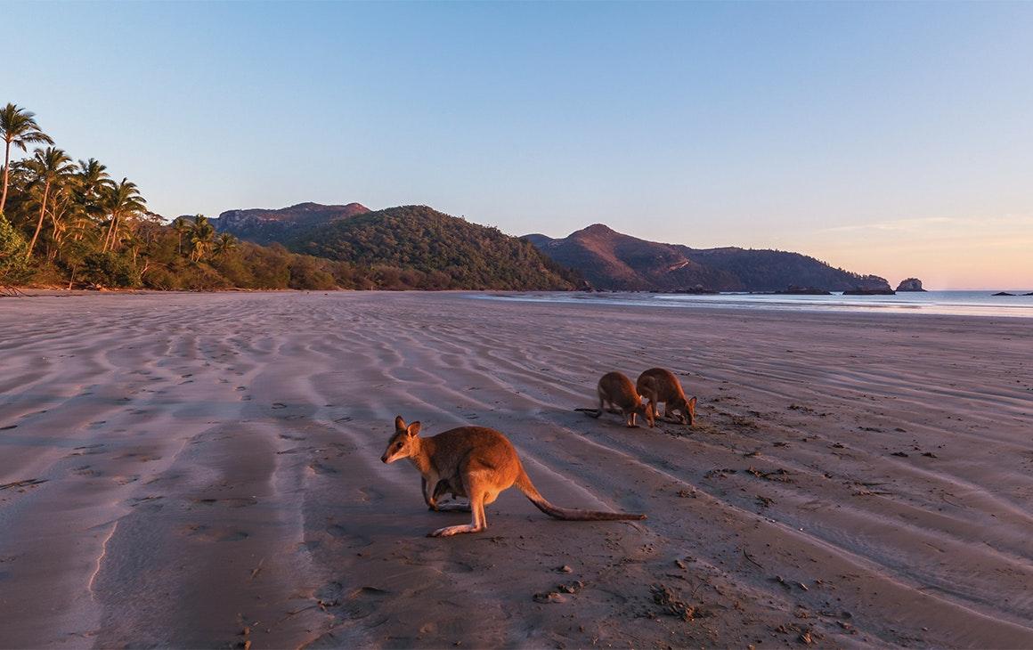 Kanagaroos gathering on a beach at sunrise