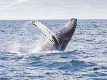 Grab The Binoculars, Here's The Best Whale Watching Spots On The Sunshine Coast And Beyond