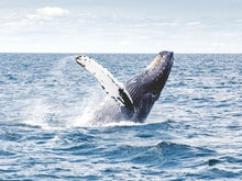 Grab The Binoculars, Here's Where To Go Whale Watching In Perth