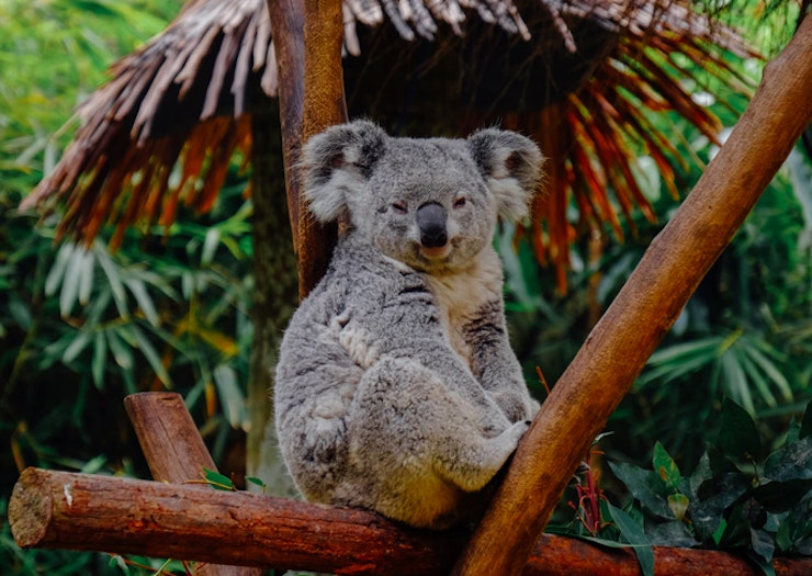 Round Up Your Mates And Book A Private Rooftop Dinner With The Koalas At This Sydney Zoo