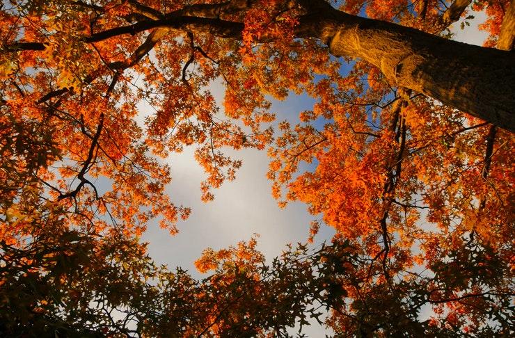 ground view of english oak treeks in autumn