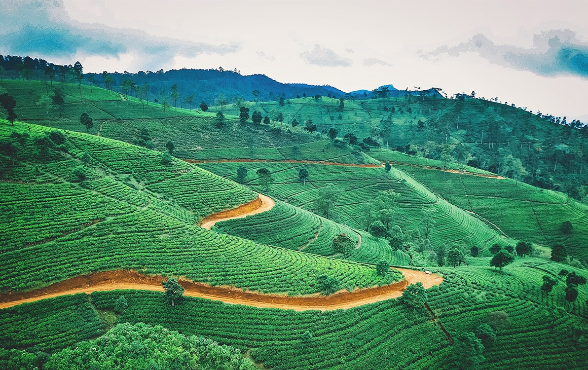 a green tea plantation in sri lanka.