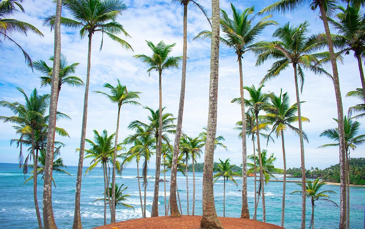 striking green palm trees line a beach in sri lanka.